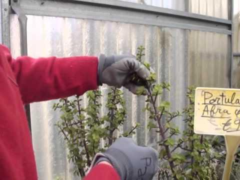 moltiplicazione per talea delle piante succulente