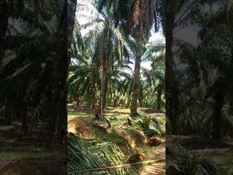 Rantau malesia potong buah sawit pokok tinggi tempat di kampung kerdau temerloh malaisia