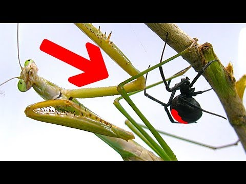 Deadly Spider Vs Giant Praying Mantis Part 1 Educational Spider Study