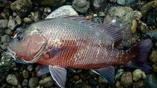 Download Video Mancing casting ikan Magrove Jack pantai Semarang UL-32 MP3 3GP MP4
