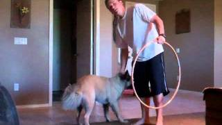 Teaching Your Dog to Jump Through a Hula Hoop
