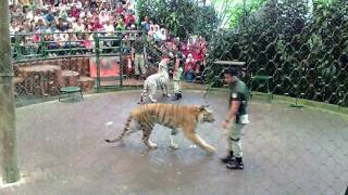 Video awesome tiger show and education taman safari indonesia MP3, 3GP, MP4, WEBM, AVI, FLV Januari 2019