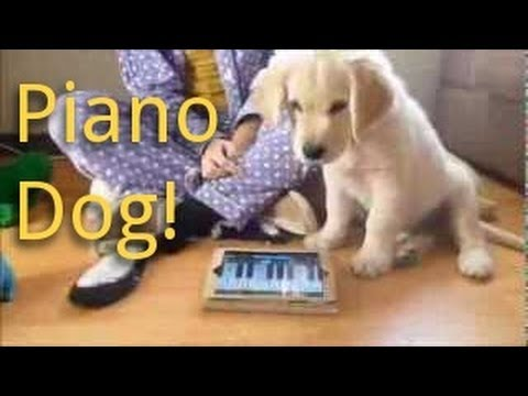 golden retriever puppy plays piano and sings...