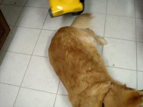 Honkey and Ann Groom Sophie The Golden Retriever – With EASE!