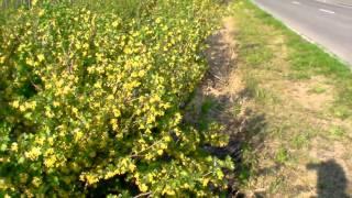 #345 Wie und wo fruchten Vierbeeren (Ribes aureum)