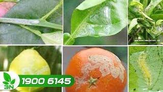 Trồng trọt | Cây cam, quýt bị sâu vẽ bùa: Trị bằng cách nào?