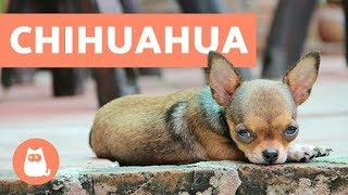 Video 10 Facts about Chihuahuas You Need to Know MP3, 3GP, MP4, WEBM, AVI, FLV November 2018
