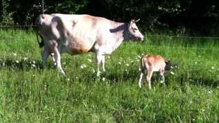Cows Grazing with Newborn Calf