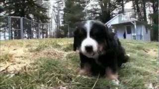 Dogs 101 - Bernese Mountain Dog