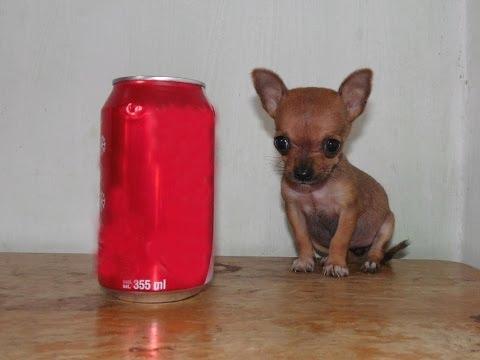 Chihuahua Hembra Micro Bolsillo – 250 gr – Super Pequeña !!