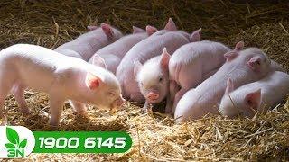 Chăn nuôi lợn | Loại thuốc đặc trị bệnh phó thương hàn ở lợn con