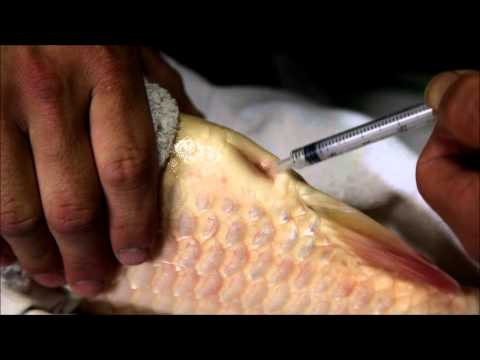koi - This video was taken over a period of 3 1/2 hours on May 27th 2012 between 2.30 a.m. and 6 a.m. and shows the manual spawning of a 93 cm Matsunosuke bloodlin...
