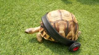 Disabled Tortoise Given A Second Chance To Walk Again! AnimalBytesTV by AnimalBytesTV