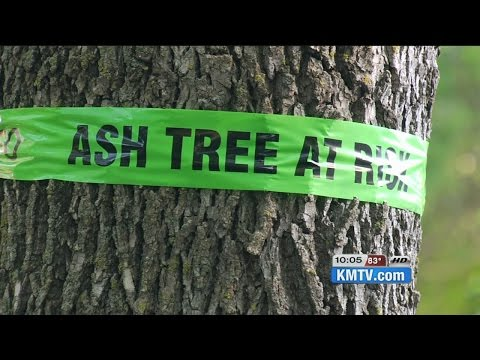 Ash tree EAB treatment concerning to homeowners