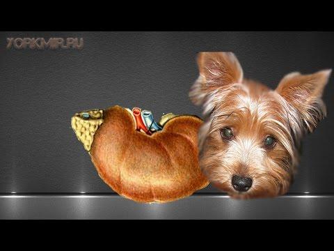 Болезнь Аддисона у собак   Признаки   Лечение.