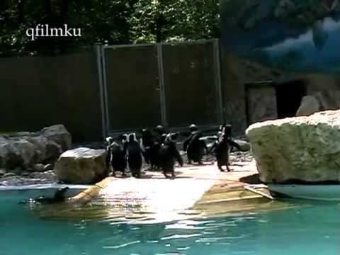Pápaszemes pingvinek Szegeden  a Vadasparkban 2012  2