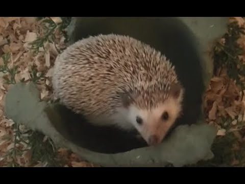 hedgehog - Some information people should know before the bring a hedgehog home as a pet! Topics include cage setup, food, hygiene, and care. Here are some more helpful...