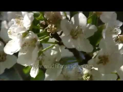 Plum blossoms in the Himalayan spring (видео)
