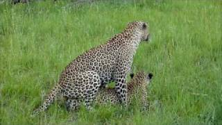Leopard mating