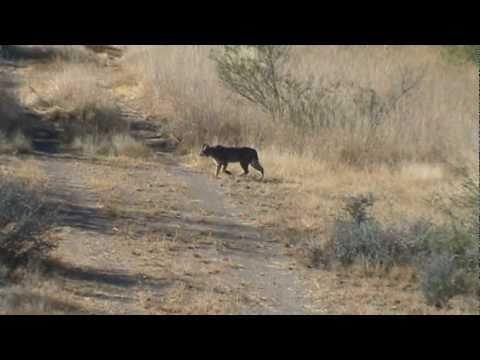 dientes de sable - Gato montés filmado en el Rancho Las Espalas, en Vallecillo, N.L..
