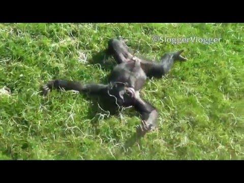 Young Chimpanzee Has Fun Sliding down a Hill