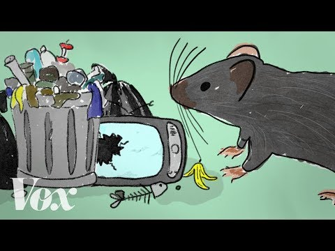 Vox: How rats take advantage of human failure
