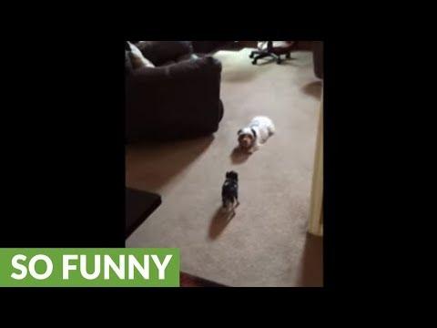 il-maialino-ed-il-cagnolino