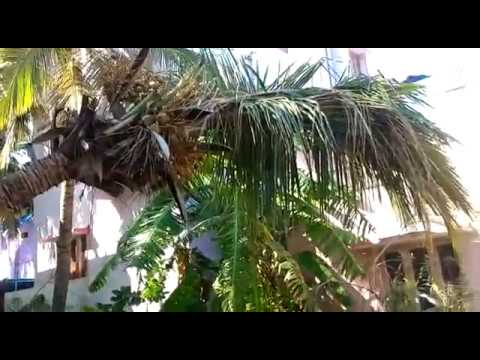 Impact Guru - Save the coconut tree..