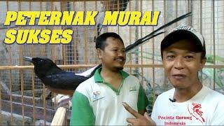 Video Kisah Sukses Peternak Burung Murai Batu di Pekalongan Jawa Tengah MP3, 3GP, MP4, WEBM, AVI, FLV Oktober 2018
