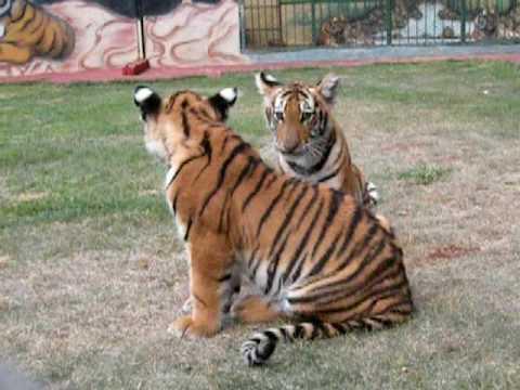 Tigers cub playing (tigrinhos brincando)