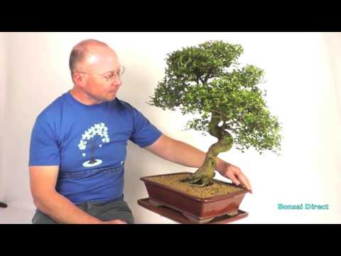 Outstanding Extra-Large Premium Chinese Elm PE288