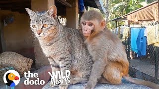 This Wild Baby Monkey is Obsessed With Her Cat  | The Dodo Wild Hearts by The Dodo
