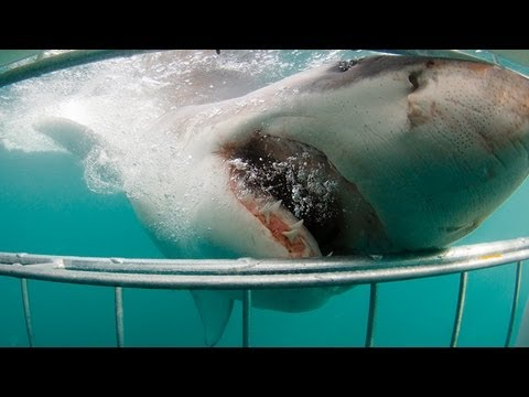 Cape Town - Shark Cage Diving in Cape Town. Great White Shark bites cage only inches from divers when trying to bite the bait. One of many special clips generated by our...