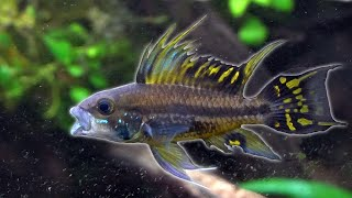 Loaches, Apistos, and Gobies- OH MY by Rachel O'Leary