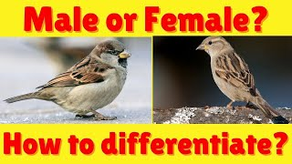 Sparrows - Difference Between Male and Female Sparrow