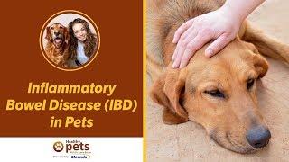 Inflammatory Bowel Disease (IBD) in Pets