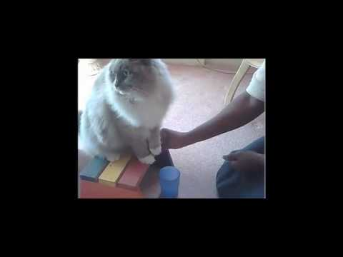 ragdoll Does Tricks