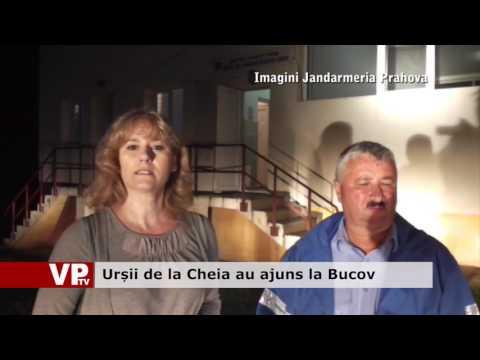 Urșii de la Cheia au ajuns la Bucov
