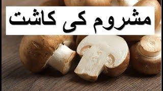 Mushroom Cultivation - کھمبی کی کاشت - Khumbi ki Kasht