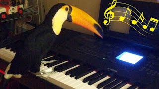 Toucan plays the piano!