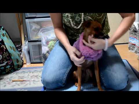 How to Properly Dress your little dog or Chihuahua FUNNY You will Laugh your head off!