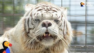 White Tigers Aren't A Real Species | The Dodo by The Dodo