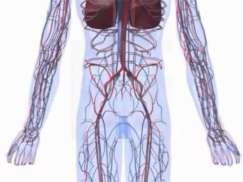 Herz- und Kreislaufsystem