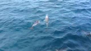Dolphins at Phillip Island