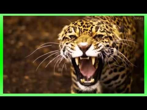 efeito sonoro de rugido de onça , pantera - sound effect jaguar roar, panther - 効果音ジャガー … видео