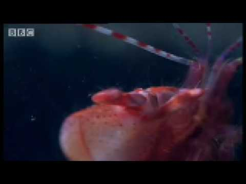 shrimps - Enter the weird and wonderful underwater world of the Pistol Shrimp in this interesting short video from BBC animal show 'Weird Nature'. Learn how the shrimp...