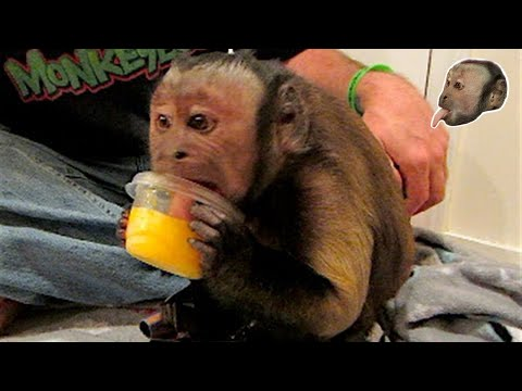 Capuchin Monkey puts cube of Frozen OJ in towel so he can break it and enjoy it in smaller pieces