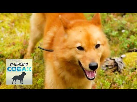 Финский шпиц. Планета собак