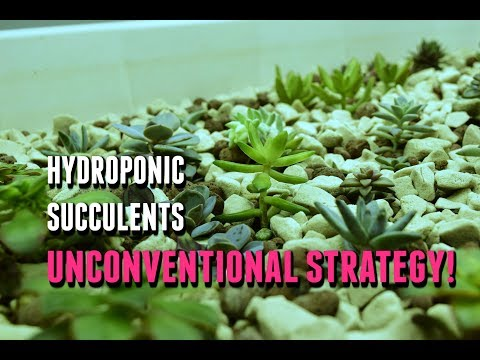 Succulent Propagation for Hydroponics / Aquaponics!