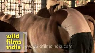 Cattle shed clean-out at Go-vigyan Anusandhan Kendra